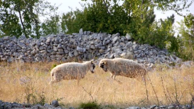羊のために戦っ oponent より - 対立点の映像素材/bロール