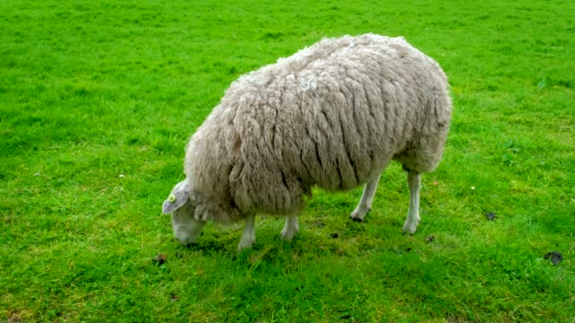 sheep gazing on meadow - ovino video stock e b–roll