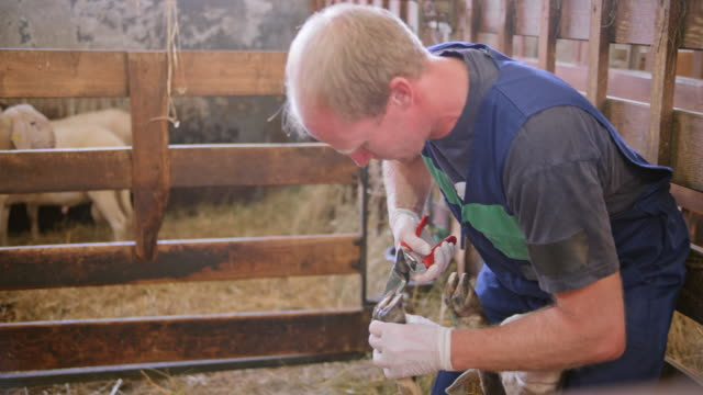 A sheep getting her hoof trimmed by a male caretaker video