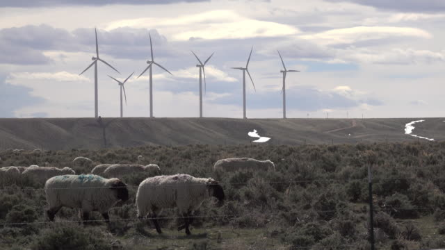 Sheep graze Fort Bridger Wyoming Mountain Wind Farm turbines video