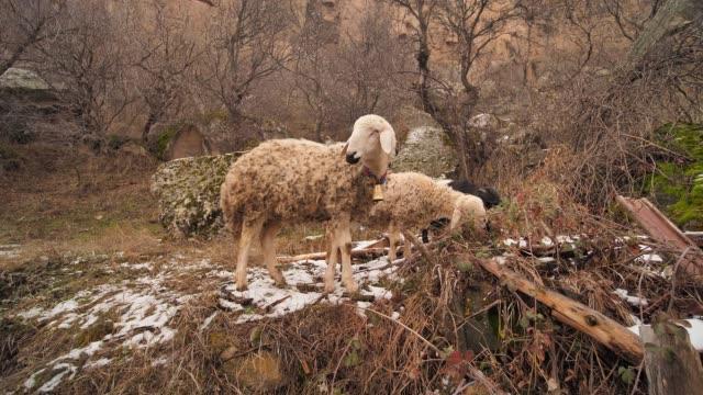 fårbeta i ihlara-dalen i kappadokien, turkiet - anatolien bildbanksvideor och videomaterial från bakom kulisserna