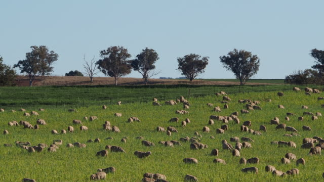Sheep Grazing in a Paddock in Country NSW Horizontal landscape video of a large flock of sheep grazing on green grass in a paddock with trees and bushes on the distant horizon paddock stock videos & royalty-free footage