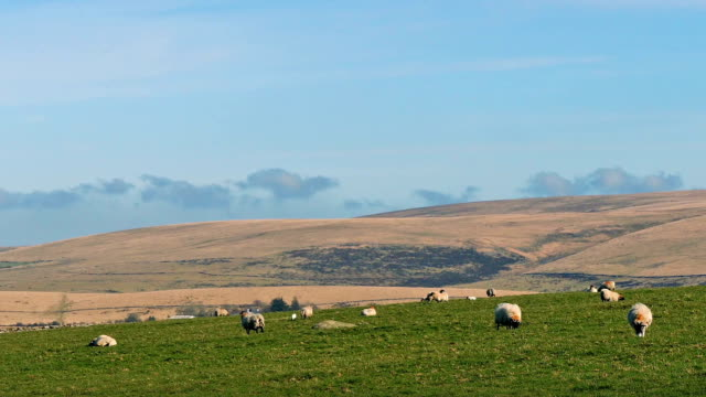 Sheep Grazing In Hilly Landscape video