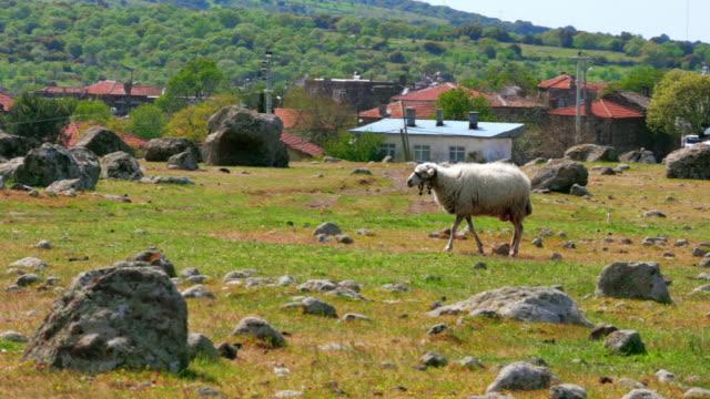 fårbete i byn på grönt gräs, assos, çanakkale, turkiet - anatolien bildbanksvideor och videomaterial från bakom kulisserna