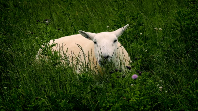 Sheep Grazing In Wild Field video