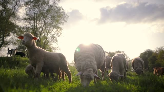 sheep grazing on a meadow - ovino video stock e b–roll