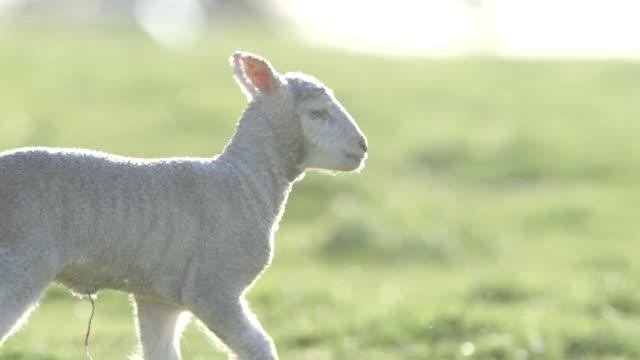 Sheep grazing on Australian farm, slow motion