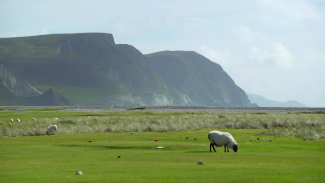 Sheep Grazing On Golf Course On Achill Island video