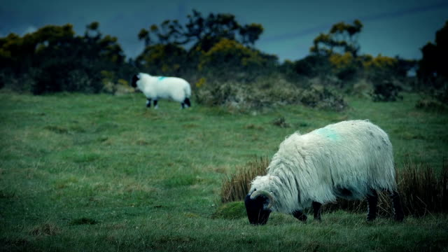 Sheep Grazing On Rugged Windy Hilltop video
