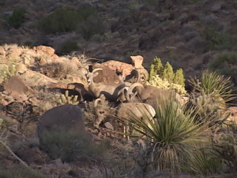 Sheep, grazing wild in the desert Desert Bighorn sheep grazing in a herd with the alpha male watching over the females. Rocky arizona mountains with vista pullback. mojave desert stock videos & royalty-free footage