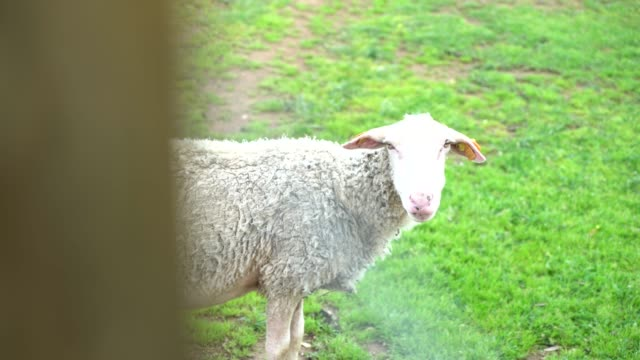 sheep green grass video