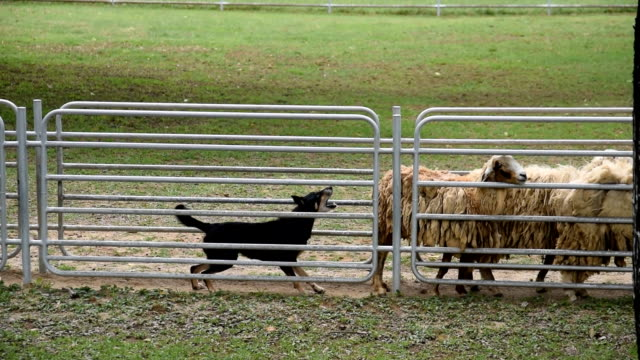Sheep guided by dog and shepherd video