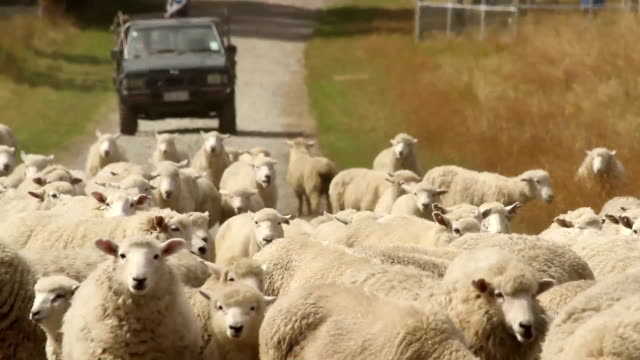 sheep herd changing pasture - sheep stock videos and b-roll footage