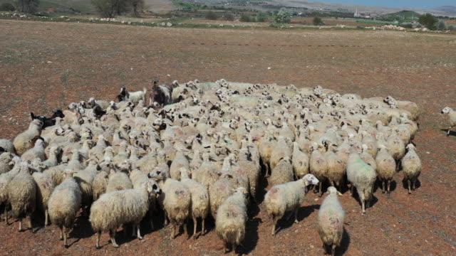 Sheep herd graze on field. Aerial view.