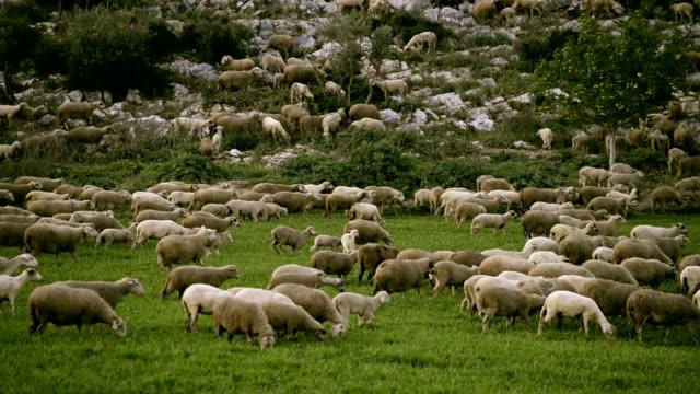 Sheep herd grazing in the meadow. video