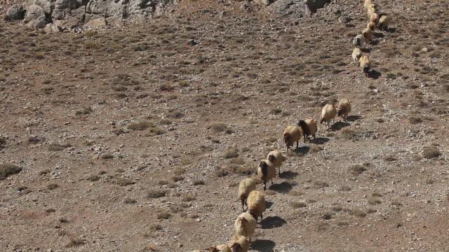Sheep herd in drought video