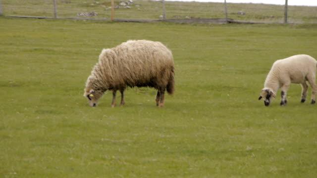 Sheep herd on farm video