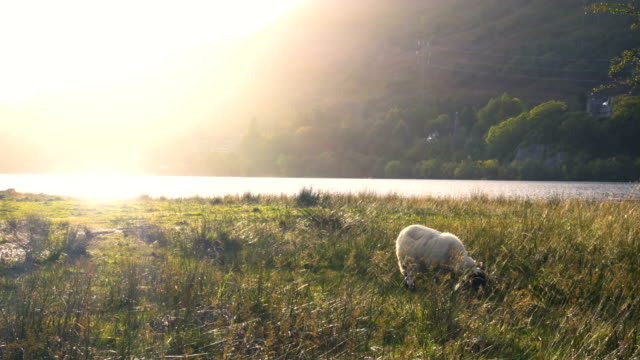 sheep in a field near loch awe and kilchurn castle in scotland at sunset - ovino video stock e b–roll