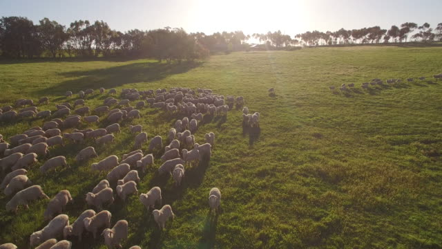 sheep in a green paddock on australian farm with a drone - ovino video stock e b–roll