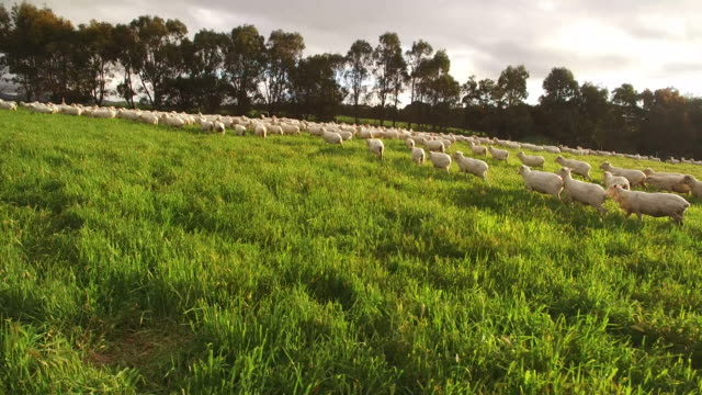 Sheep in a paddock on Australian farm, drone footage in the late afternoon, cloudy Victoria, Australia paddock stock videos & royalty-free footage