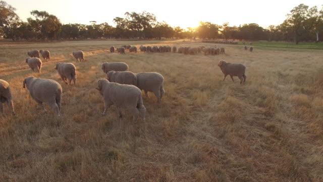vidéos et rushes de moutons dans un enclos de ferme australienne, drone - mouton
