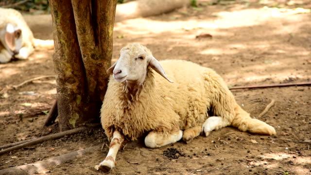 Sheep in farm video