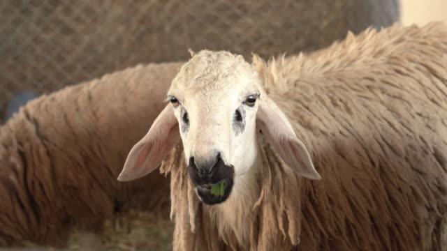 Sheep in the farm