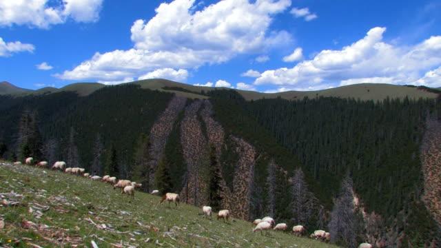 vidéos et rushes de moutons dans les montagnes du tibet - apprivoisé