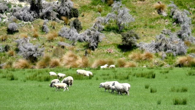 Sheep in the nature in new zealand video