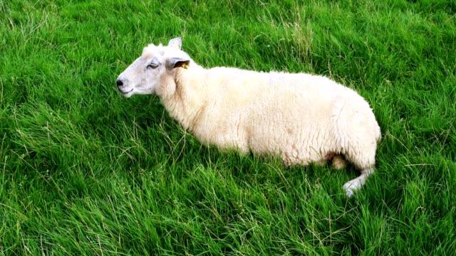 Sheep in Westerhever in Germany video