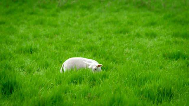 Sheep lamb grazing