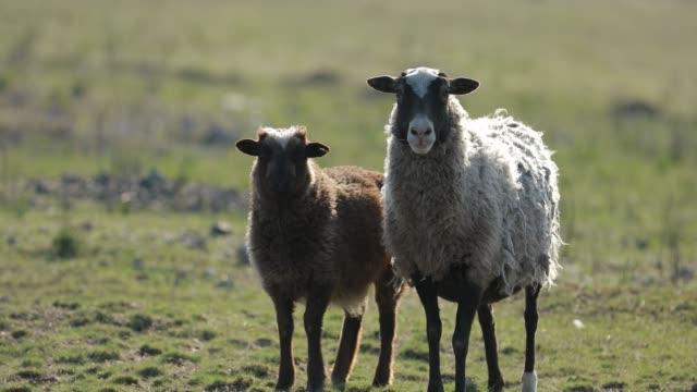 får mor och son på ett fält - djurfamilj bildbanksvideor och videomaterial från bakom kulisserna