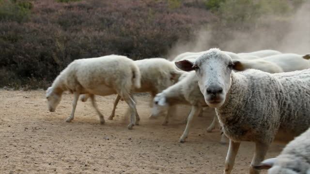 sheep on a dusty road - ovejas camino polvoriento - sheep stock videos and b-roll footage