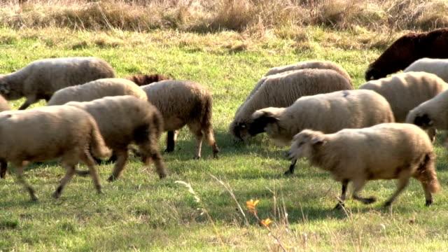 Sheep on meadow video