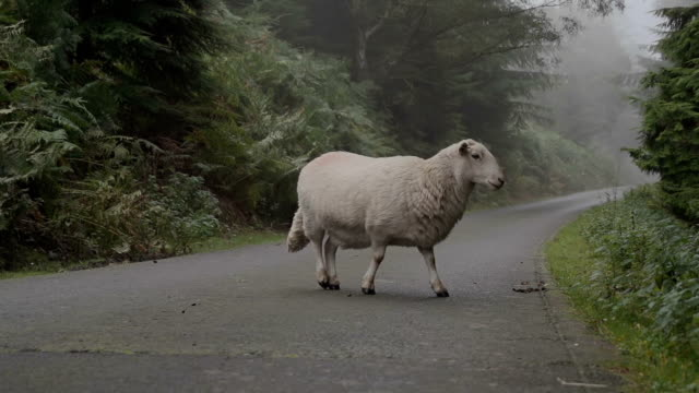 sheep on road causing a hazard - sheep stock videos and b-roll footage