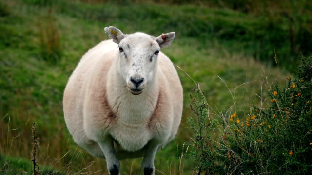 sheep on windy hillside - ovino video stock e b–roll