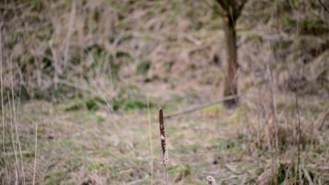 sheep passing behind Typha latifolia video