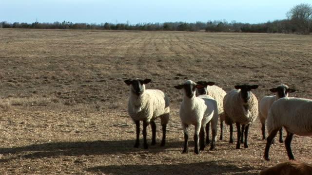 vidéos et rushes de pâturage des moutons - apprivoisé