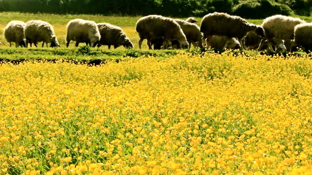 sheep resting in the meadow video