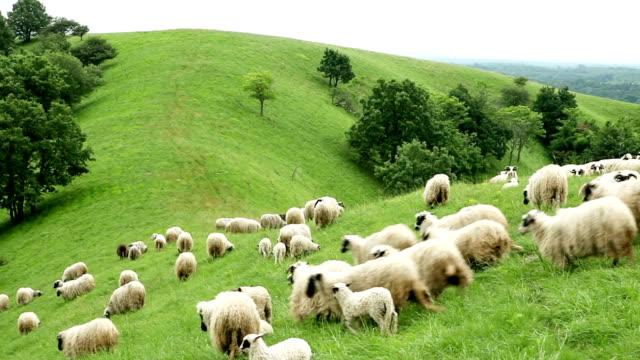 Sheep running down a hill