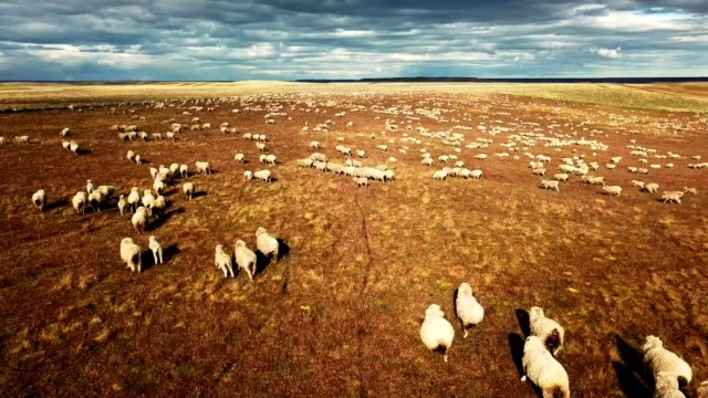 vídeos de stock e filmes b-roll de sheep running in the pampa - fugir