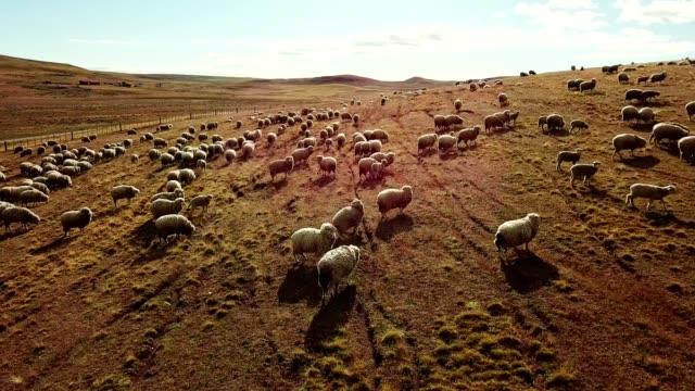 sheep running in the pampa - ovino video stock e b–roll