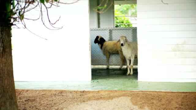 sheep standing in white house. - white house filmów i materiałów b-roll