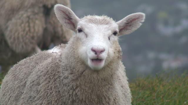 (HD1080i) Sheep Stares At Camera And Chews, Close Up