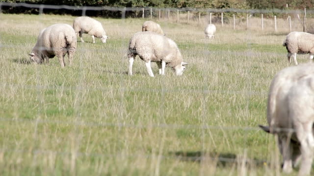 stockvideo's en b-roll-footage met sheep through a fence in english field - fresh start yellow