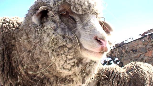 Sheep (Ovis aries) video