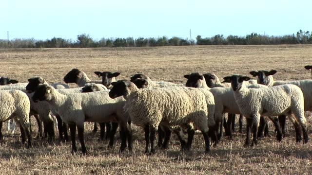 vidéos et rushes de mouton - apprivoisé