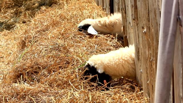 sheep - morrhår bildbanksvideor och videomaterial från bakom kulisserna