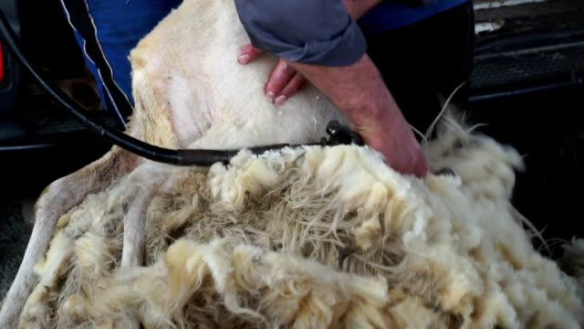 Sheep video