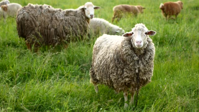 sheep with lamb looking at the camera and bleats - ovino video stock e b–roll